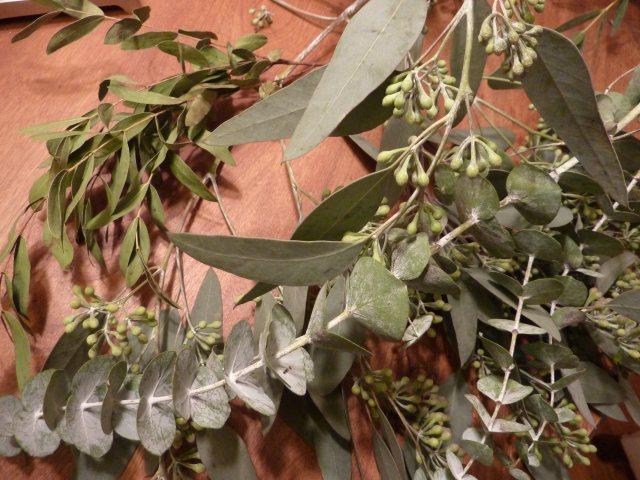 Eucalyptus_BabyBlueandSeededVarieties